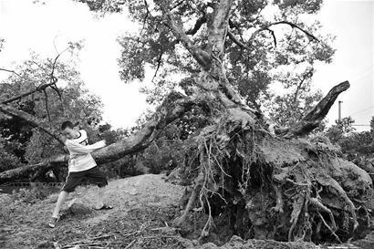 百年大榕树被连根拔起(图)