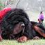 玉树地震前,藏獒舍身换得幼儿命