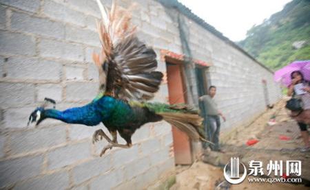 虽然是在狭窄的空间里,孔雀仍然想展翅翱翔