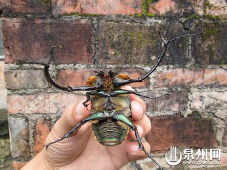 国家二级保护动物阳彩臂金龟
