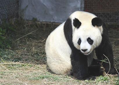 记者从知情人士那了解到,大熊猫是22日去世的
