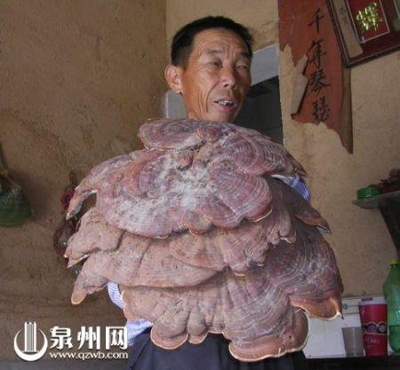 晋江一市民挖到6斤多重野生灵芝(组图)