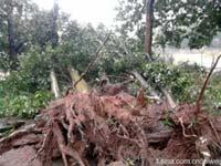 雷伟军:华侨大学5棵大树被连根拔起