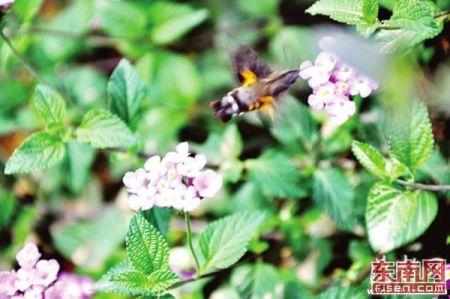 在沙县发现的长得像蜂鸟的蛾