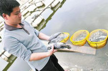 有的养殖户家里的石斑鱼大批死去