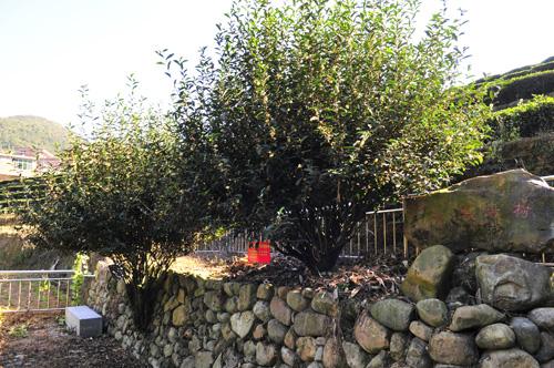 一百五十年黄金桂母树
