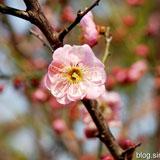 金鸡山公园的梅花