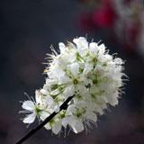 福州森林公园的山樱花