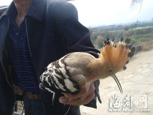 """老汉手上拿着的就是""""戴胜""""鸟"""