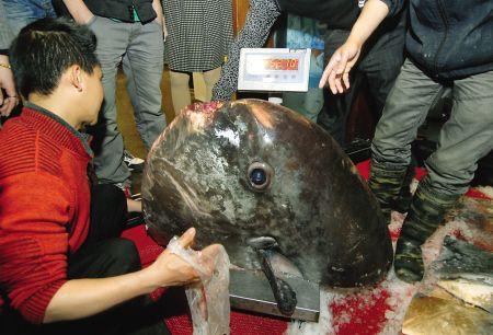 这么大的鲳鱼,从事餐饮业20多年的王总经理也是第一次遇到