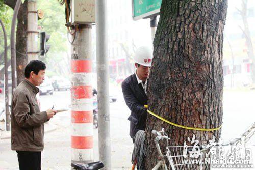 这些树的直径大多有两人的腰围粗,最大的树树围达215厘米