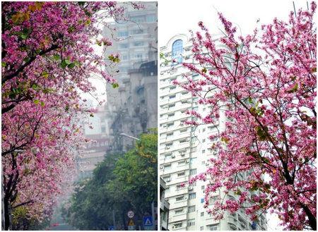 厦门园林植物园旅游开发科的蔡福星科长介绍,羊蹄甲和香港的紫荆花是