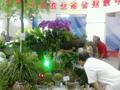蝴蝶兰盛开 引游客观赏