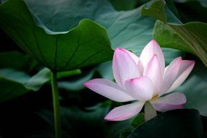 《夏。荷》 网友 西陌/摄于茶亭公园