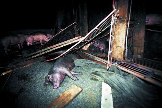 运猪货车侧翻,有几头猪伤重死亡