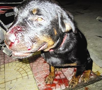 狗狗的鼻子被毒蛇咬伤了