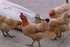 李镇阔-下梅村小鸡啄米