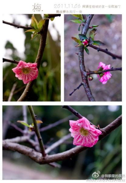 福州,晋安区,宦溪镇创新村鹅峰禅寺。这个绝对是福州2011年秋冬季的第一朵梅花了。