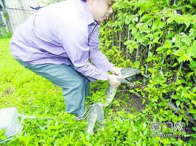 专业捕蛇师傅将巨蜥制服。