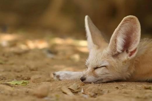 狐狸; 动物们卖萌般的可爱睡相
