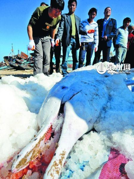 村民运来冰块保存白海豚的尸体