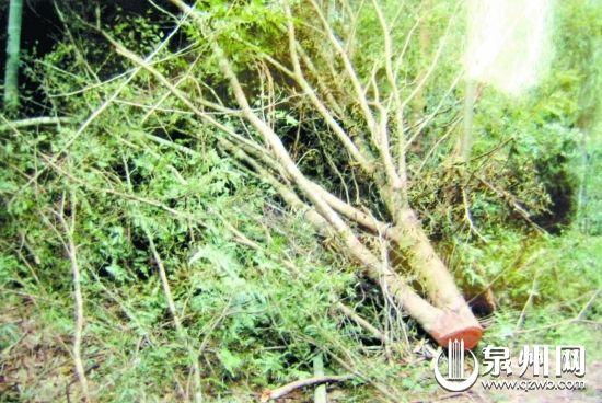 红豆杉的树枝被弃置一边