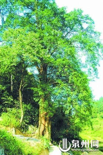 红豆杉(网图)