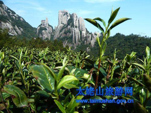"""太姥山所处的福建省福鼎市,作为""""中国白茶之乡"""",""""中国名茶之乡"""",缘于"""