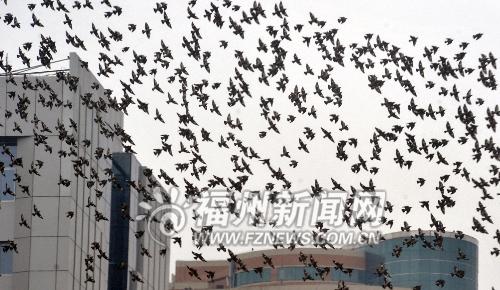 """鸟儿集团军""""投奔""""榕城过冬 名叫丝光椋鸟"""