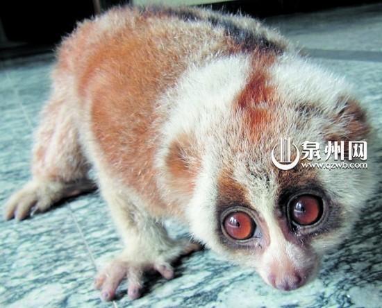 国家一级濒危保护动物懒猴
