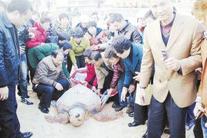 2月1日,东山县铜陵念佛堂信士自发在南门海边放生一只127.5公斤的大�P龟。
