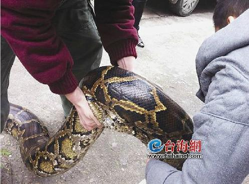 巨型食人鱼2_巨型蟒蛇图片展示_巨型蟒蛇相关图片下载
