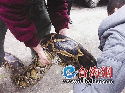 ▲这条蟒蛇身体最大直径处有18厘米
