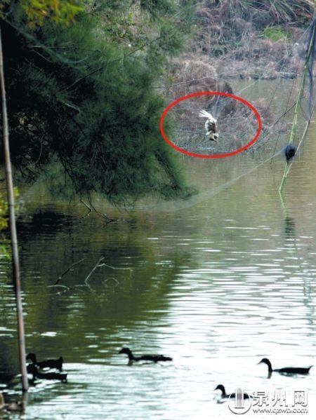 村民私设渔网 白鹭惨遭捕杀
