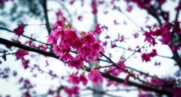 文曾路花溪上别样的樱花记忆