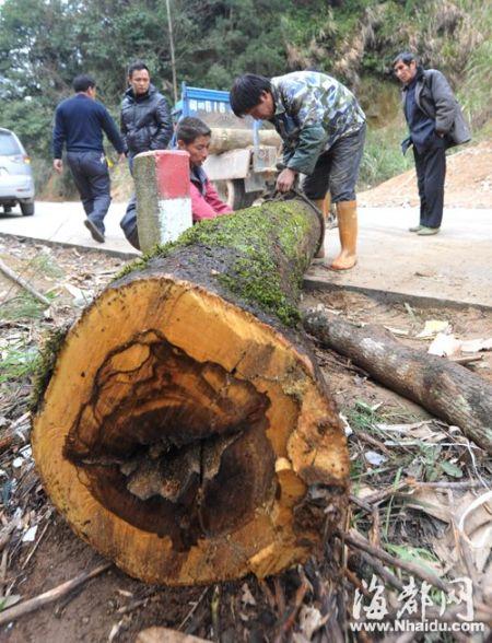 被砍的树木被村民追回