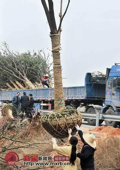 昨日上午,在长汀县河田镇高速公路出口,大吊车将360棵大樟树和160棵银杏树逐棵吊到路旁,准备绿化公路沿线。记者 朱裕森 摄