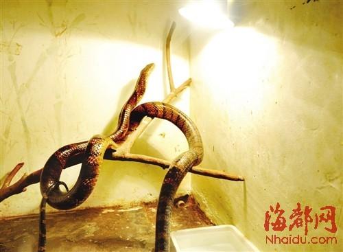 眼镜王蛇在动物园的温室内慢慢恢复了活力