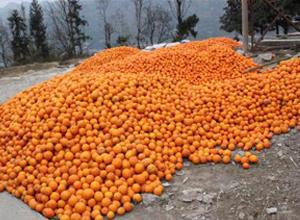 金灿灿的脐橙