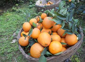果农采摘的新鲜脐橙
