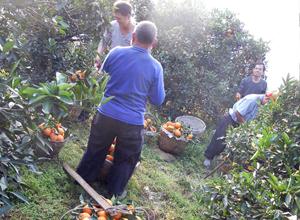 西南大学的学生和果农一起采摘脐橙