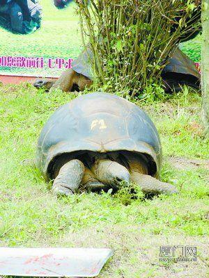 """象龟昨日凌晨抵厦,""""落户""""海沧野生动物园。"""