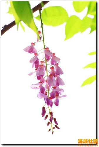 南湖公园里飘逸的紫藤花