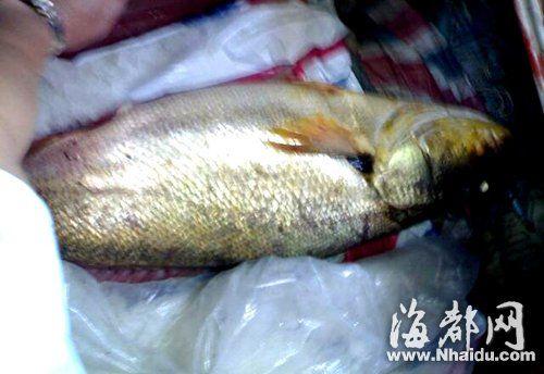这就是神秘大鱼的真容,它足足有80斤重(现场手机偷拍)