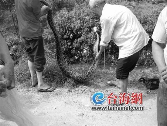 漳州养鸭场现35斤大蟒蛇