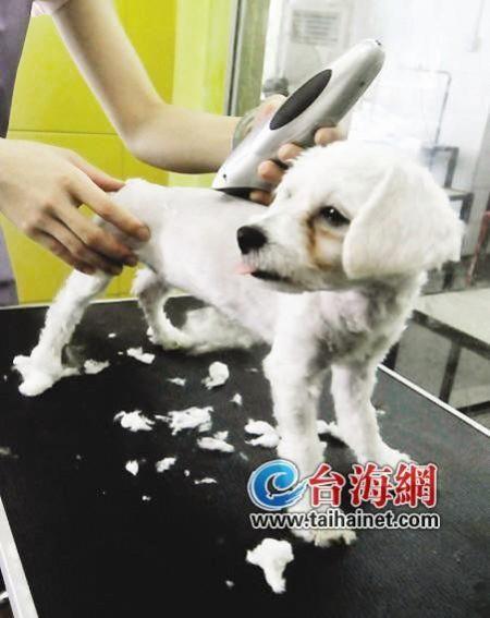 高温天狗狗频换造型 宠物美容师月入能上万