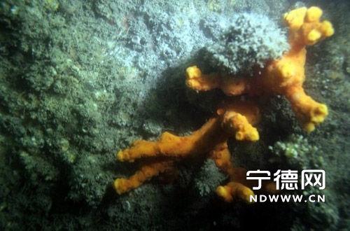宁德市海域发现造礁石珊瑚