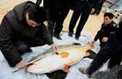 连江渔民捡160斤黄唇鱼卖出300万