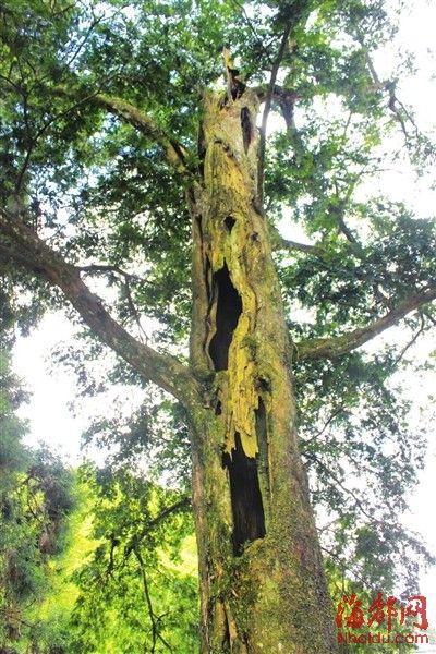 红豆杉已没树顶,但仍枝繁叶茂