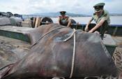 渔民在福建外海捕获巨型魔鬼鱼